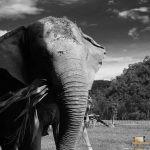 82 - Elephant Nature Park santutegiak erreskatatutako elefante bat