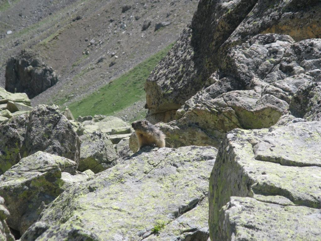 Marmota bat eguzkitan.